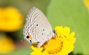 アマミウラナミシジミ 花